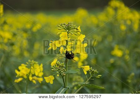 Thick bumblebee under yellow rapeseed plant in rapeseed field
