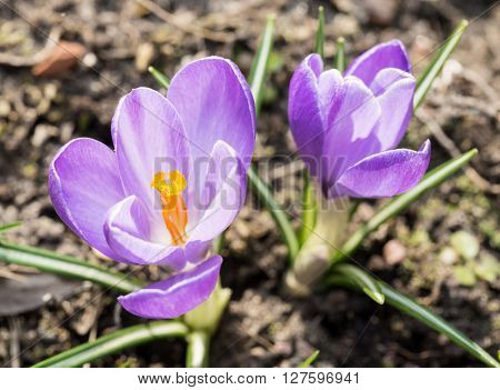 Crocus -blomming spring flowers.