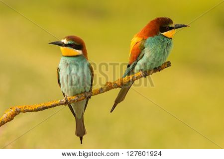 Pair of bee-eaters perched on a branch