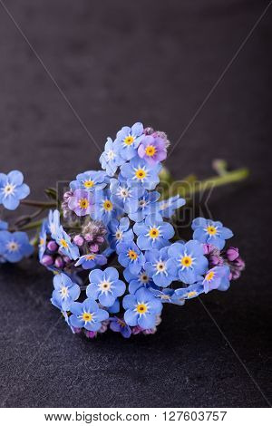 Several Blue Blooms And Purple Buds Of Myosotis Forget-me-not Flower