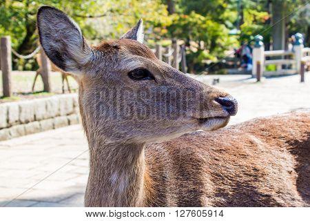 Closeup of a wild Sika deer (Cervus Nippon)