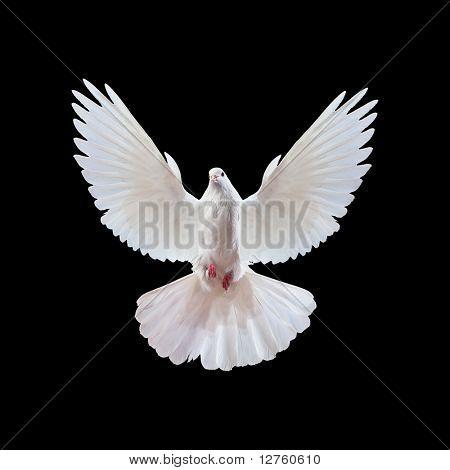 Una paloma blanca volando libre aislada sobre un fondo negro
