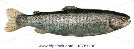 Trout fish isolated over white background