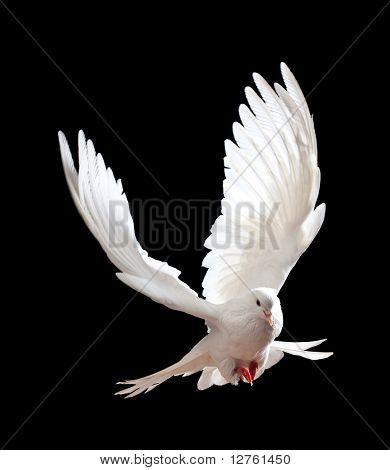 Frei fliegende weiße Taube auf schwarzem Hintergrund isoliert