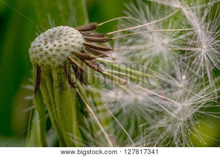 Dandelion after wind. Head and stamens close up