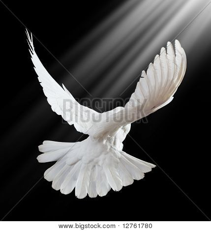 A Free Flying White Dove On A Black Background