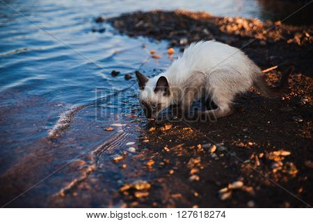 Siamese cat drinking from the river at sunset on the shore
