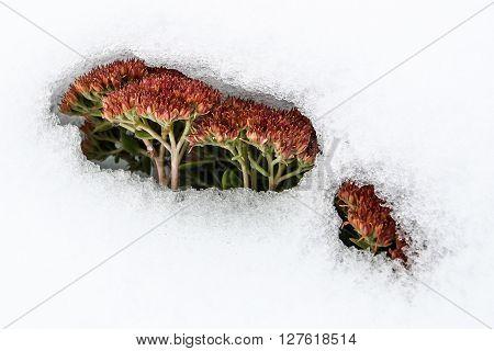 Autumn sedum still in bloom and peeking through the snow