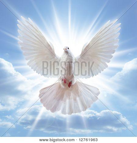 Taube in der Luft mit Flügeln weit offen vor der Sonne