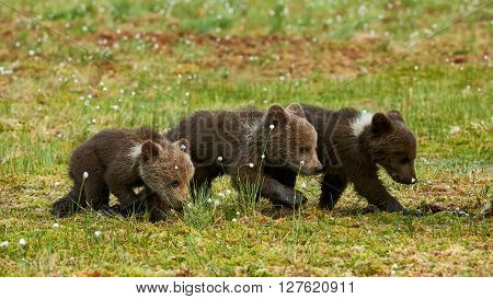 Three Brown bear cubs photographed in spring in the Finnish taiga