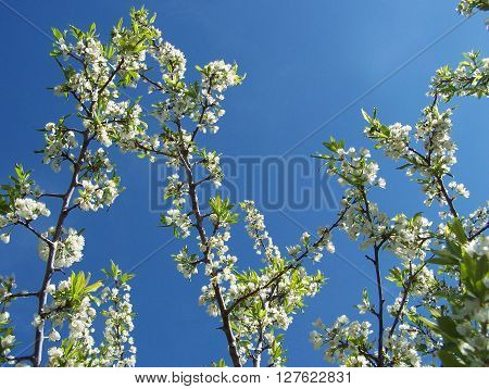Plum branches to the sky in the springtime