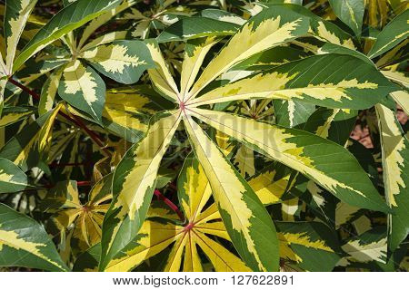 A large group of tropical ornamental cassava plants with variegated green and yellow palmate leaves on a bright sunny day. Another name for it is ornamental tapioca. It's botanical name is Manihot esculenta Variegata