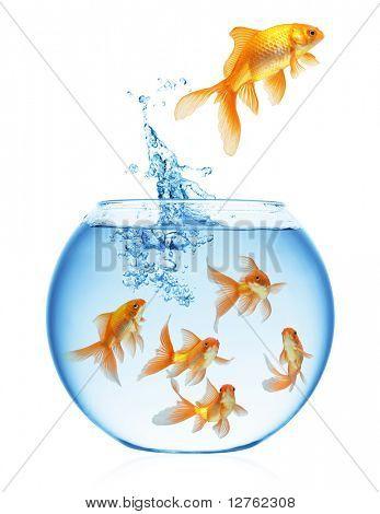Ein Goldfisch, springen aus dem Wasser, in die Freiheit zu entkommen. Weißer Hintergrund.