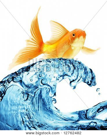 A goldfish jumping out of the water to escape to freedom. White background.