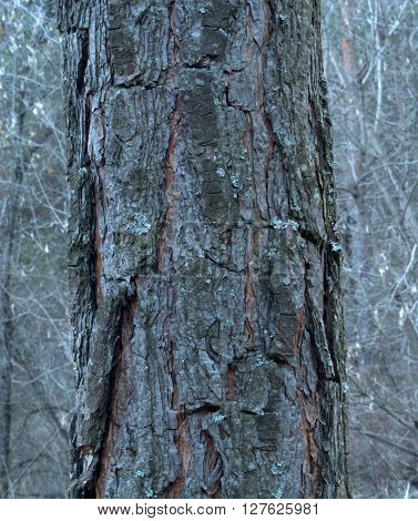 Pine Tree Stem in a Forest. Brown bark of vertical pine.