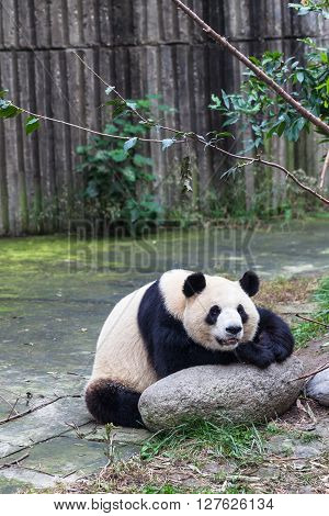 Close view of a funny Giant Panda Chengdu China