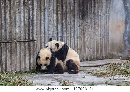 Two Giant Pandas Playing