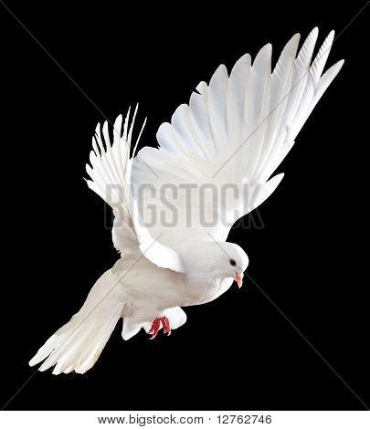 Pomba branca voando livre isolada em um fundo preto