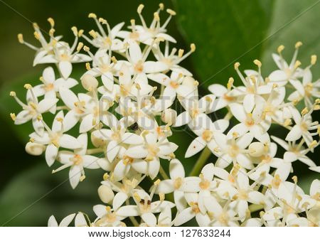 Tiny white flower clusters of Roughleaf Dogwood in spring