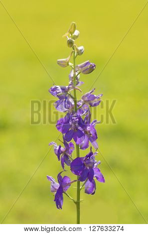 Dark purple Larkspur flowering against bright green, sunny, summer background