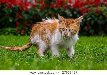 A blue-eyed orange baby kitten cat in a park - Kennedy Park Lima, PERU in October 2015 ** Note: Visible grain at 100%, best at smaller sizes