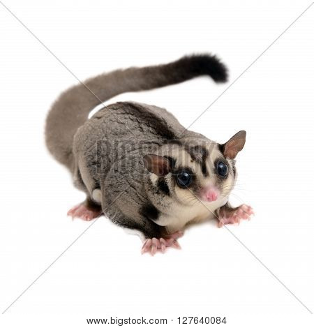Rodent animal sugarglider looking forward on white background.