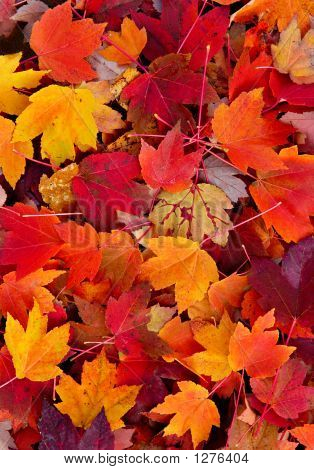 Magnificent Maple Leaves