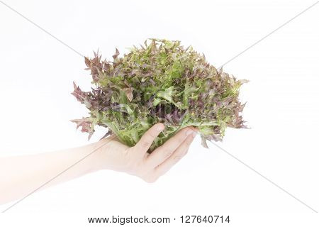 Hand on group of salad vegetable on white background stock photo