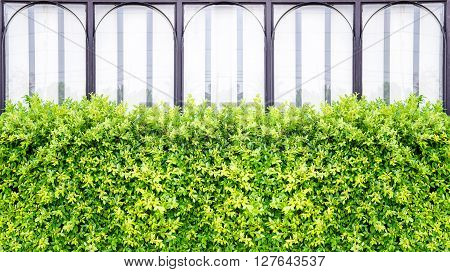 Green hedge at window of coffee shopbackground wall.