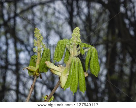 Horse-chestnut aesculus hippocastanum flower bud and young leaves on branch with bokeh background macro selective focus shallow DOF