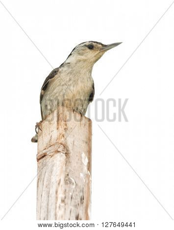White-breasted Nuthatch perched on top of a stick, isolated on white