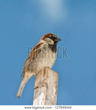 Male House Sparrow, Passer domesticus, perched on top of a stick against sunny blue sky