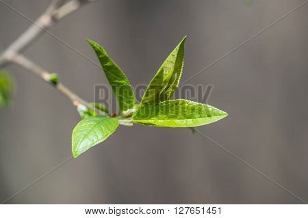 The New Young Leaves On A Tree Branch Close Up