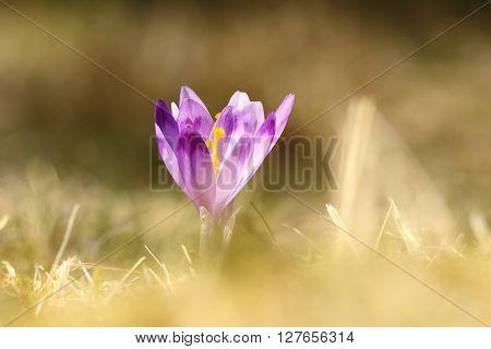 beautiful wild crocus over green out of focus background ( Crocus sativus )