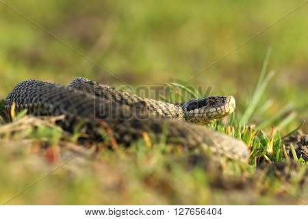 female meadow viper in the grass ( Vipera ursinii rakosiensis )