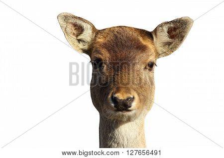 isolated head of fallow deer hind ( Dama dama )