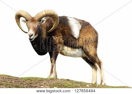 isolated mouflon looking at the camera ( Ovis orientalis )
