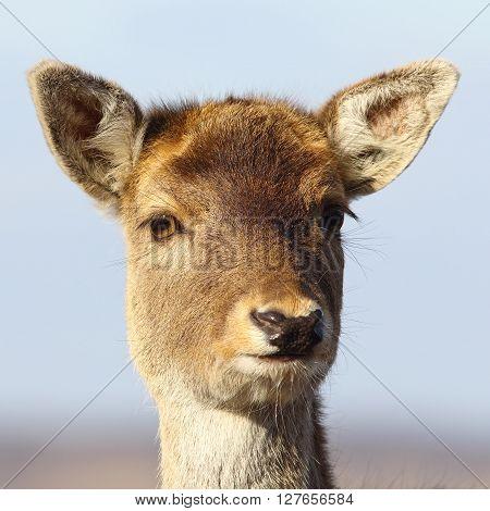 portrait of cute fallow deer calf ( Dama dama )