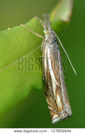 Crambus lathoniellus micro moth. Small insect in the family Crambidae known as the grass moths