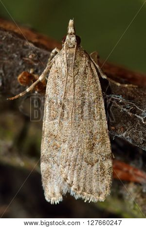 Scoparia subfusca micro moth. Small insect in the family Crambidae known as the grass moths