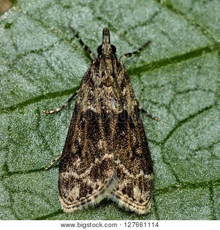 Scoparia ambigualis micro moth. Small insect in the family Crambidae known as the grass moths