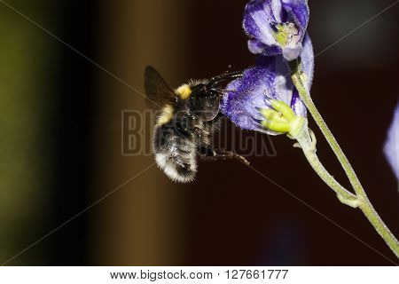 a bumble bee approaching a blue aconite