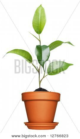 Home plant in flowerpot. Isolate on white.