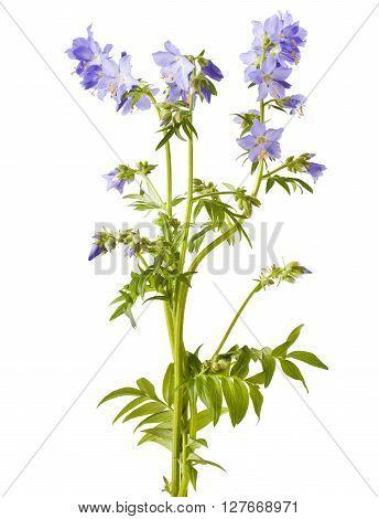 Jacob's Ladder or Greek valerian (Polemonium caeruleum) isolated on white