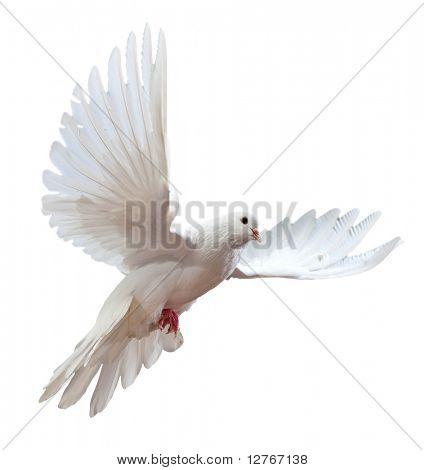 Frei fliegende weiße Taube isoliert auf weißem Hintergrund