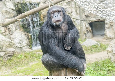 Chimpanzee Pan troglodytes Pan paniscus, resting relaxed under the sun