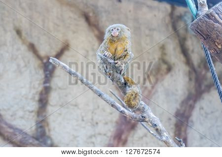 Callithrix pygmaea Pygmy marmoset, resting relaxed in a branch