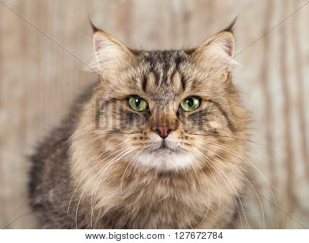 Siberian cat, close-up portrait