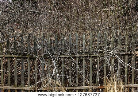 Old rickety wooden fence with protruding branches of bush