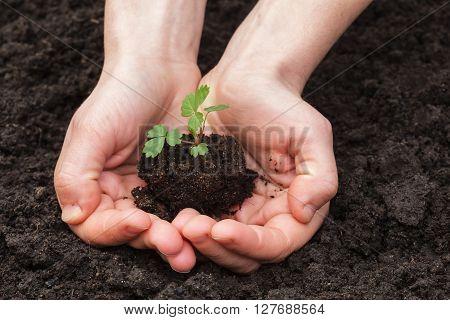 girl holding a strawberry seedlings on soil background